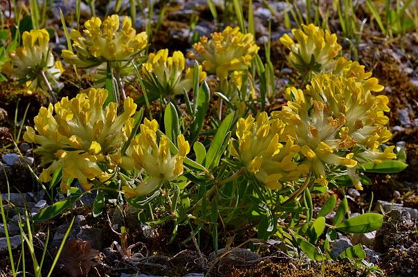 Anthyllis vulneraria subsp. alpestris