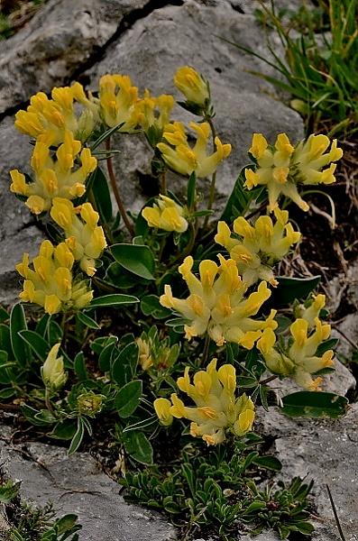 Anthyllis vulneraria subsp. carpatica