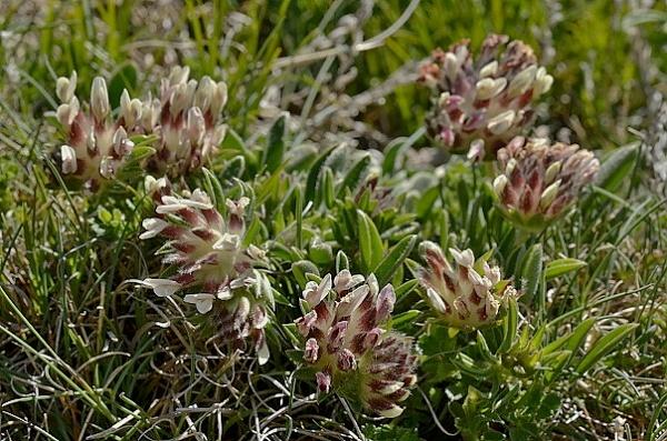 Anthyllis vulneraria subsp. vulnerarioides