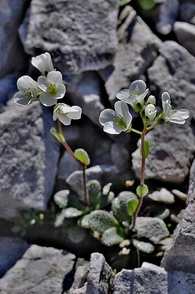 Arabis bellidifolia subsp. stellulata