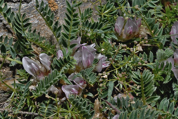 Astragalus sempervirens subsp. sempervirens