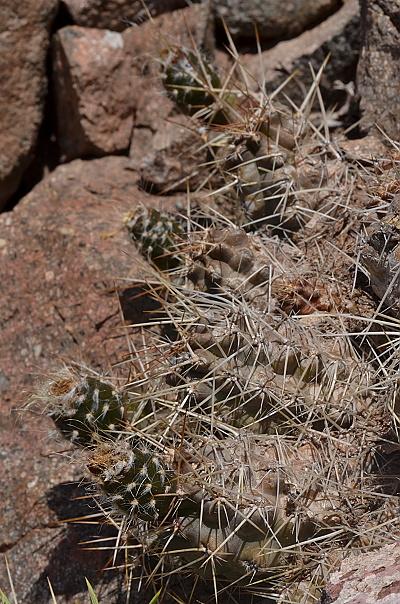 Austrocactus hibernus