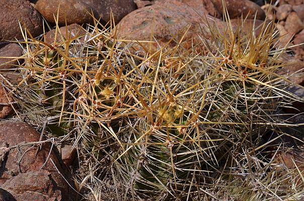 Austrocactus longicarpus