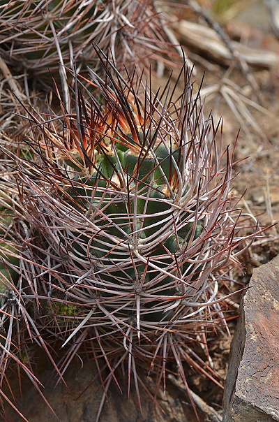 Austrocactus phillippi