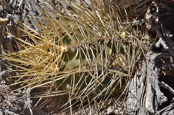 Austrocactus sp.