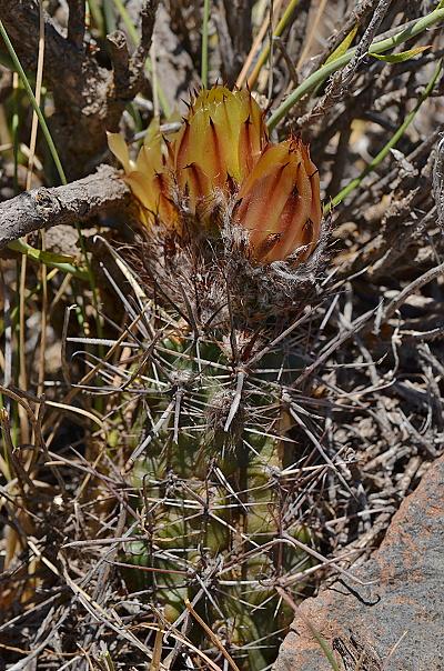 Austrocactus subandinus