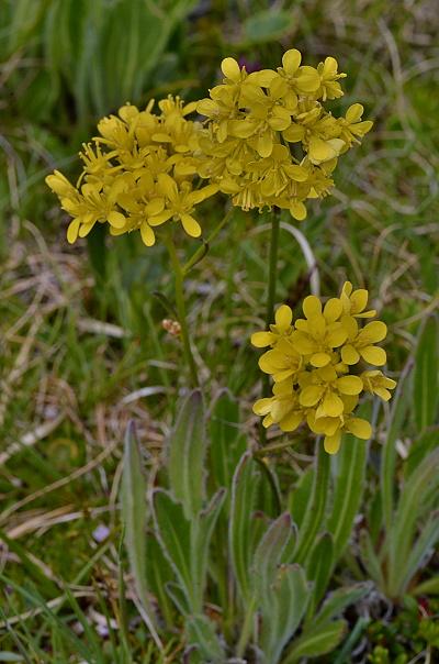 Biscutella laevigata subsp. laevigata