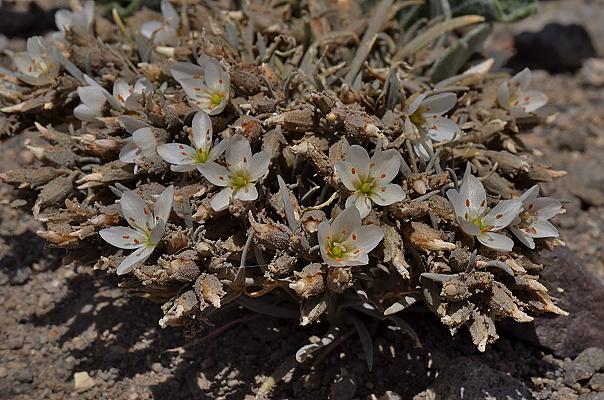 Calandrinia patagonica