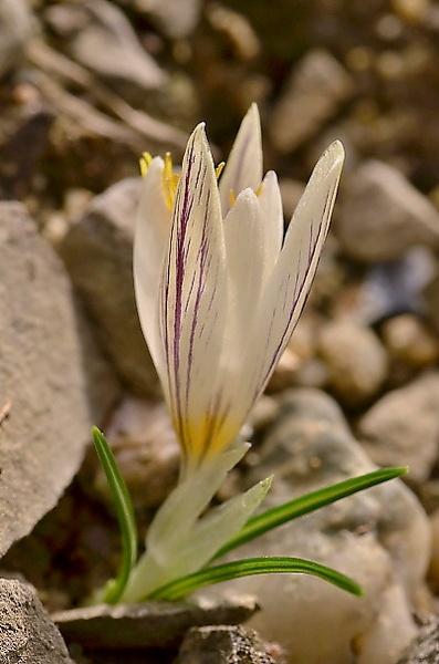 Crocus laevigatus