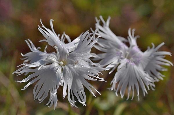 Dianthus praecox subsp. praecox