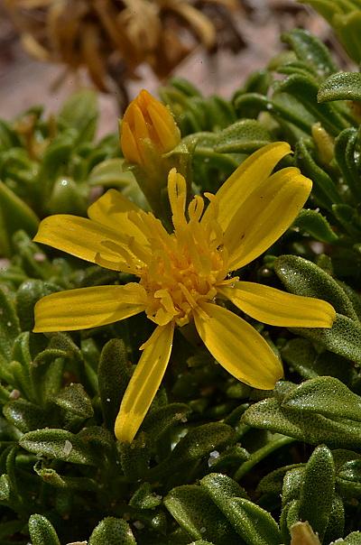 Gutierrezia baccharoides
