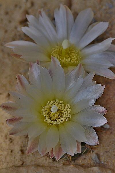 Gymnocalycium reductum subsp. reductum