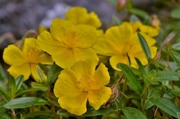 Helianthemum nummularium subsp. grandiflorum