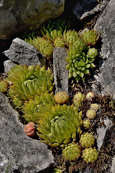 Jovibarba globifera subsp. preissiana