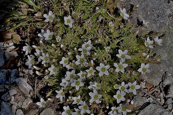 Minuartia recurva subsp. condensata