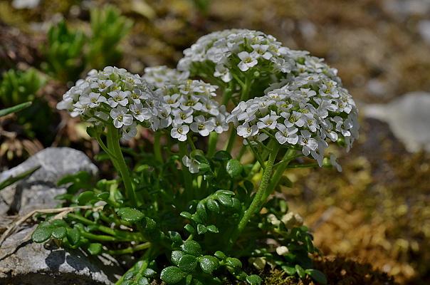 Pritzelago alpina subsp. alpina