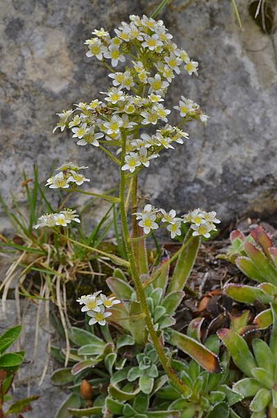 Saxifraga hostii subsp. hostii