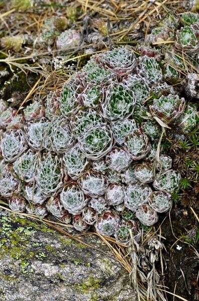 Sempervivum arachnoideum subsp. arachnoideum
