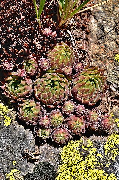 Sempervivum marmoreum var. erythraeum