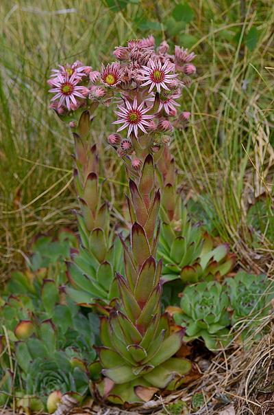 Sempervivum tectorum subsp. tectorum