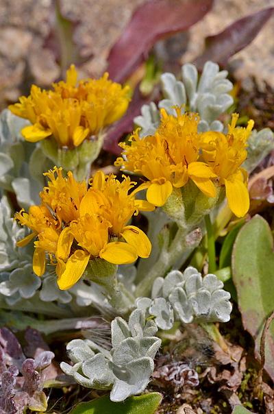 Senecio incanus subsp. incanus