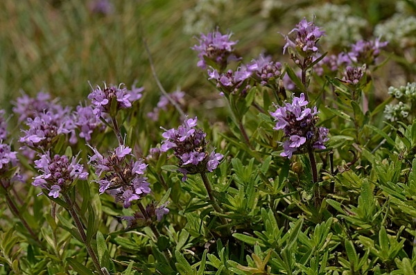 Thymus glabrescens