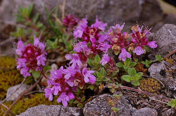 Thymus praecox subsp. praecox