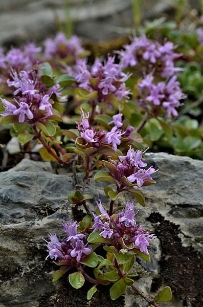 Thymus pulcherrimus subsp. sudeticus