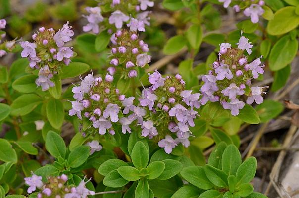 Thymus pulegioides subsp. pulegioides