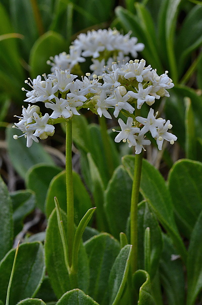 Valeriana saxatilis