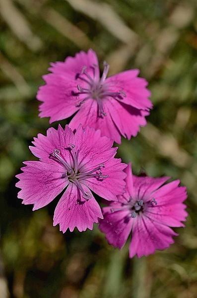 Dianthus carthusianorum subsp. latifolium