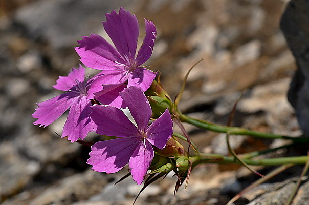 Dianthus ferrugineus