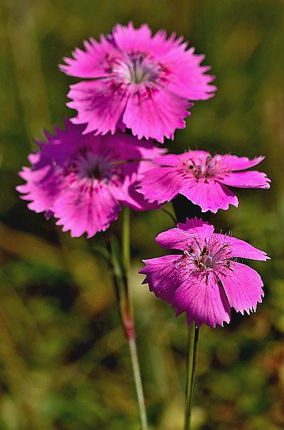 Dianthus nitidus