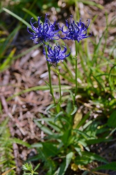 Phyteuma orbiculare subsp. montanum