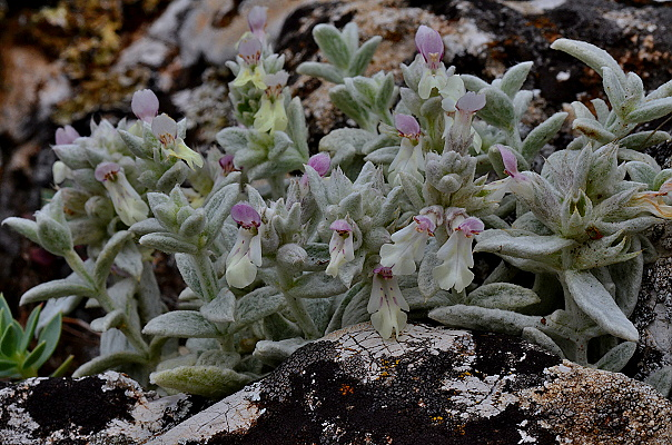 Stachys sp.