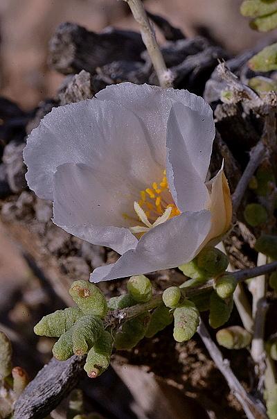 Grahamia bracteata