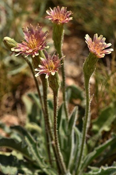 Leontodon asperrimus