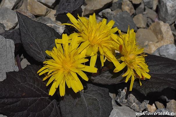 Crepis pygmaea