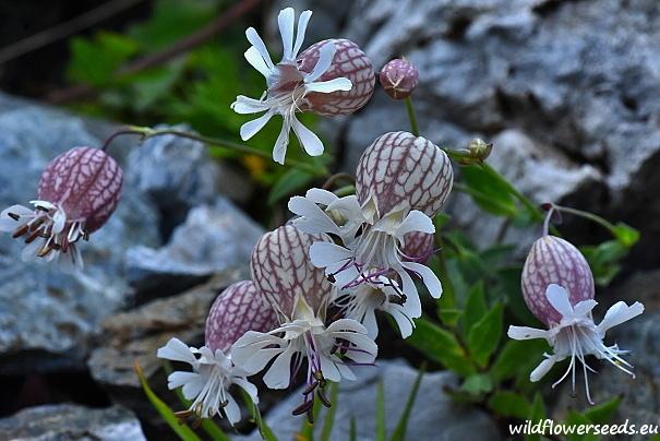 Silene vulgaris subsp. glareosa