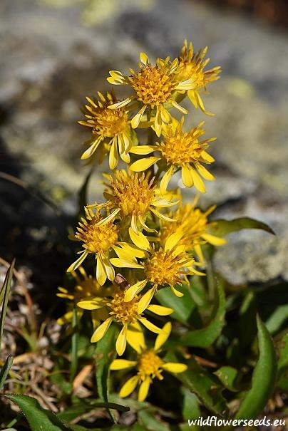 Solidago virgaurea subsp. minuta