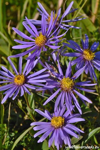 Aster amellus subsp. bessarabicus