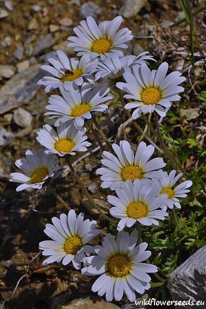 Leucanthemopsis alpina subsp. tatrae