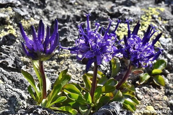 Phyteuma globulariifolium subsp. pedemontanum