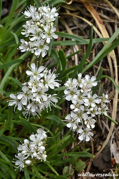 Gypsophila fastigiata subsp. fastigiata