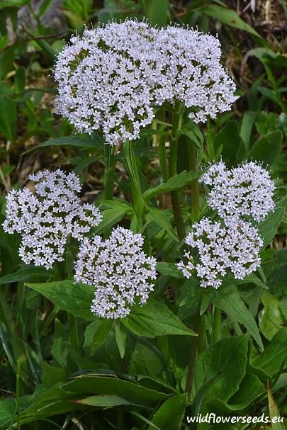 Valeriana tripteris subsp. austriaca