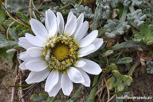 Anthemis carpatica subsp. pyretriformis