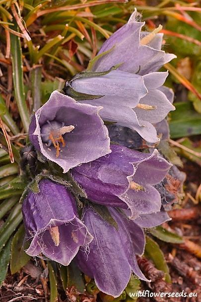 Campanula alpina var. bucegiensis