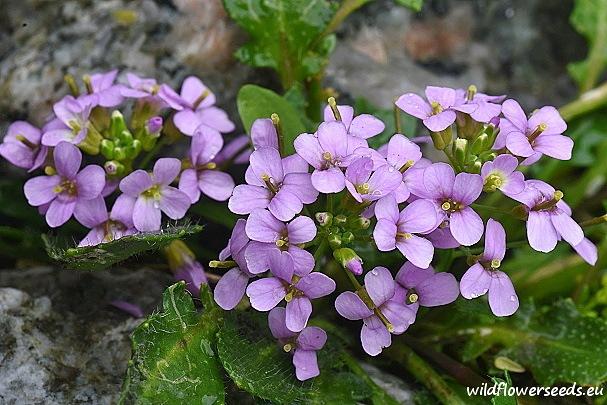 Cardaminopsis neglecta