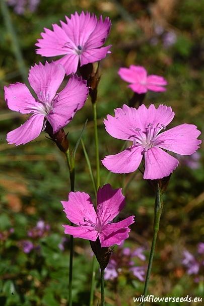 Dianthus carthusianorum subsp. capillifrons