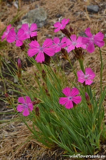 Dianthus carthusianorum subsp. carthusianorum